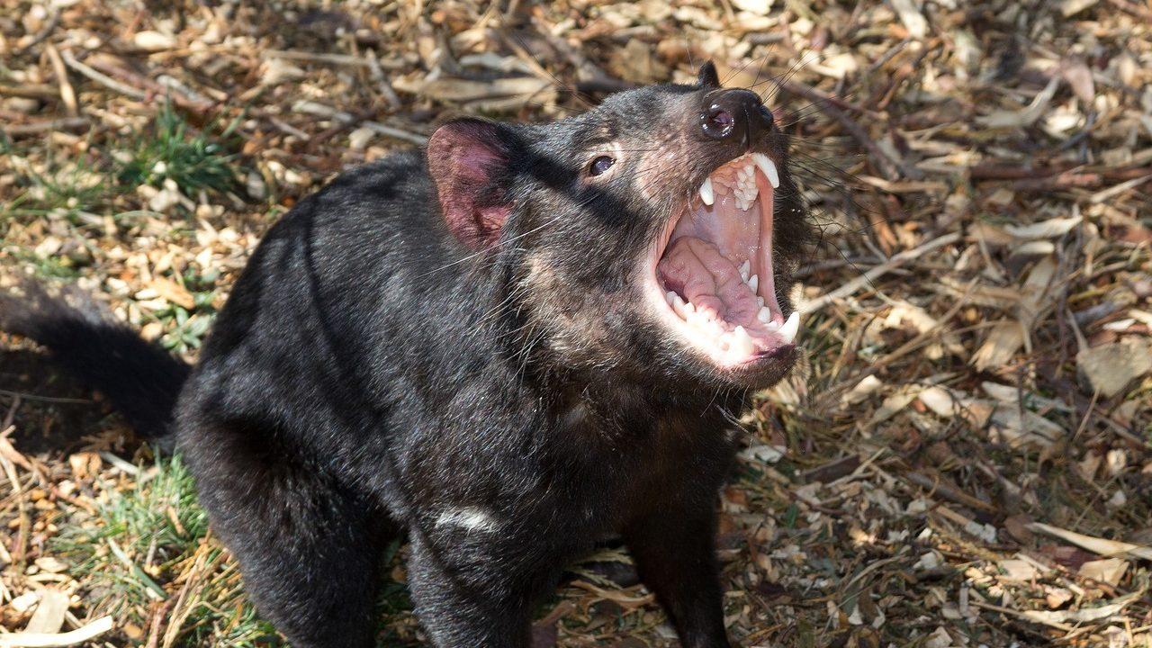タスマニアンデビルの由来とは?鳴き声は?動物園にいる?ペットに(飼育)できる?