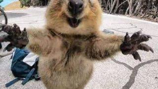 クワッカワラビーは日本の動物園のどこで会える?飼育(飼う)できる?生息地も!
