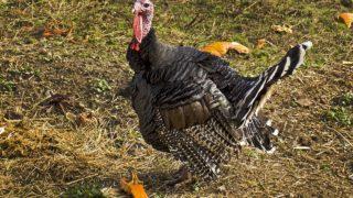 七面鳥の由来は?クリスマス丸焼きで食べるのはなぜ?味や鳴き声は?