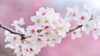 桜流しの意味とは?季語で雨のこと?エヴァとの関係や英語表記も!