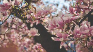 マグノリアの意味とは?花言葉は何?フランス語・ラテン語どっち?