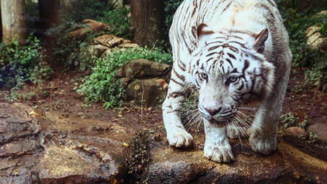 虎の威を借る狐の意味とは?類語や使い方を例文で!由来や心理も解説!